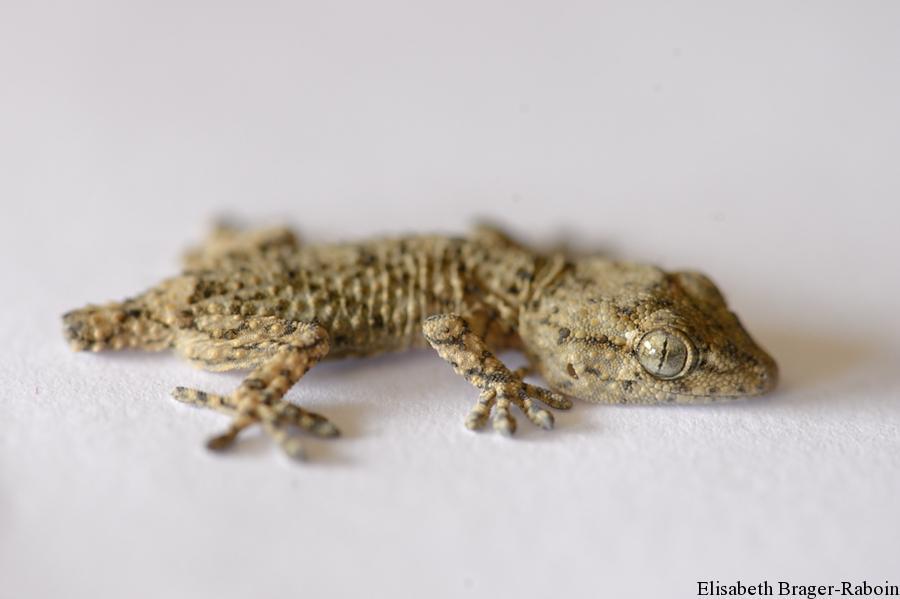 Lézard gecko
