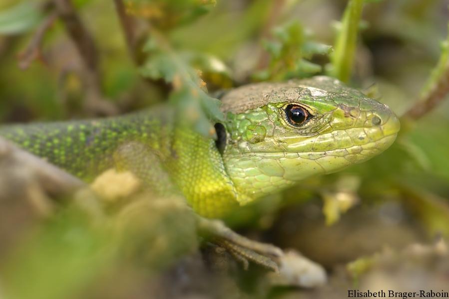 Lézard vert à la sortie de son hibernation.
