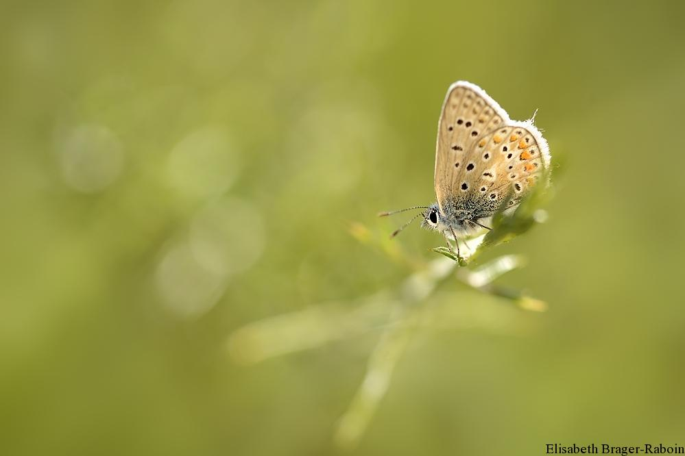 Papillon argus.