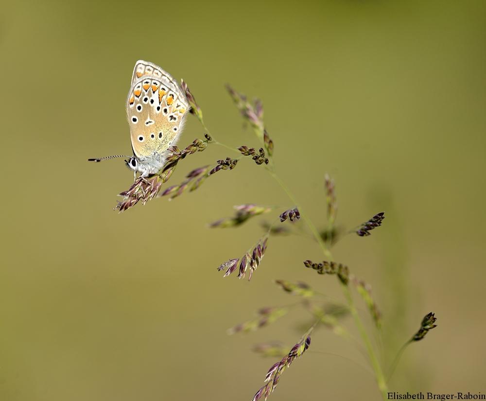 Petit papillon sur une graminée
