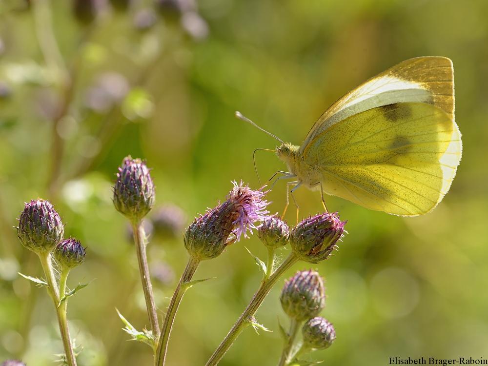 Papillon aux bottes de soleil
