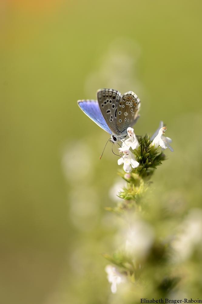 Argus bleu sur sarriette