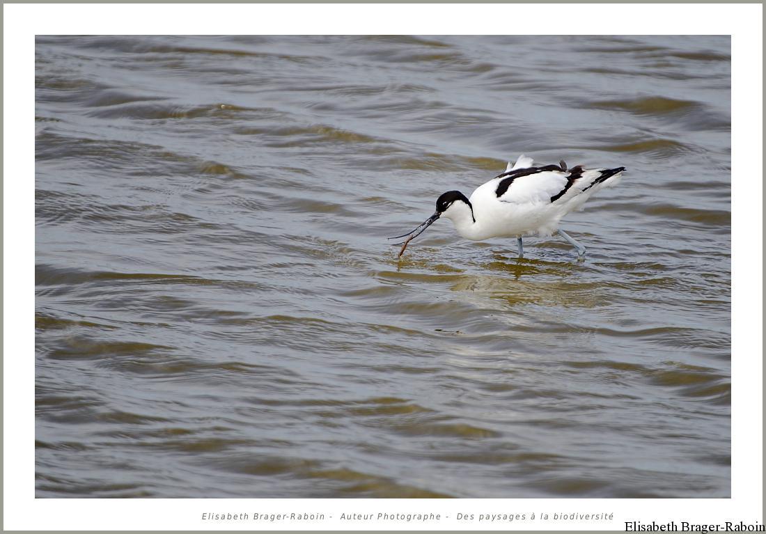 Avocette élégante Recurvirostra avosetta - Pied Avocet