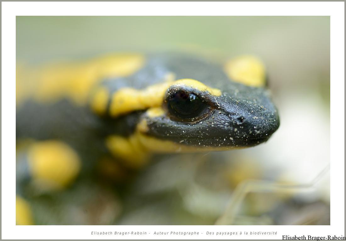 Portrait de salamandre