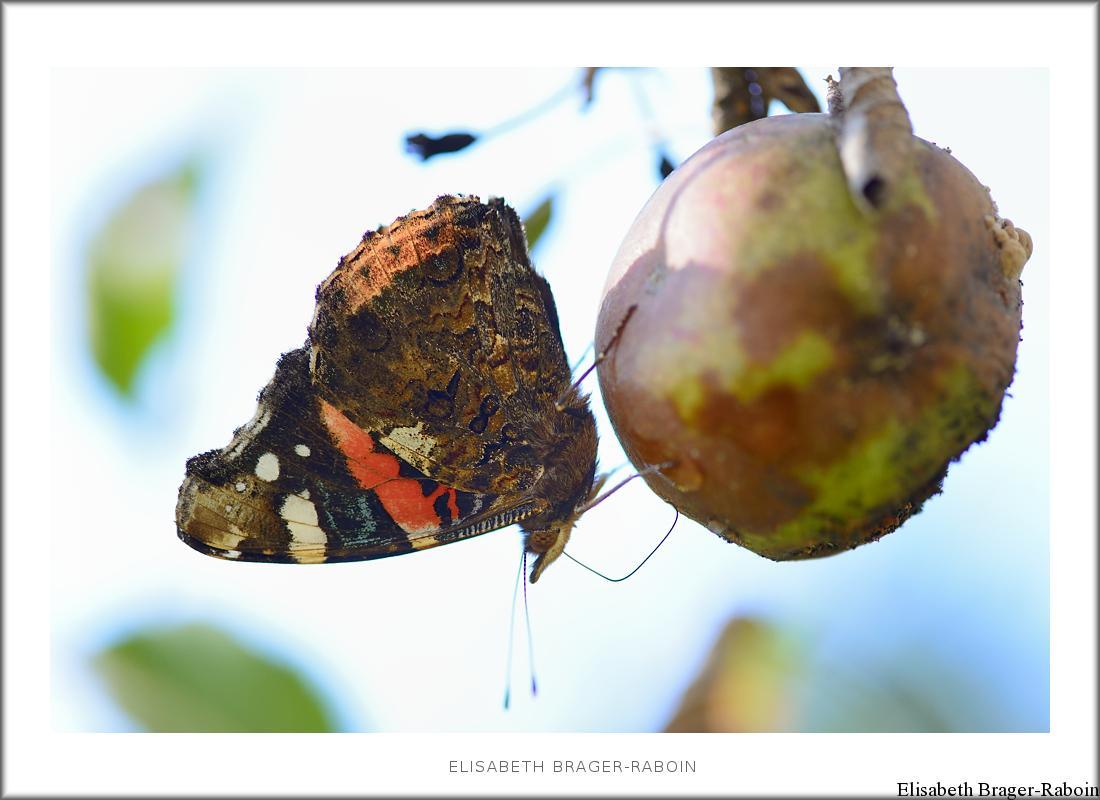 Vulcain se délectant d'une pomme pourrie