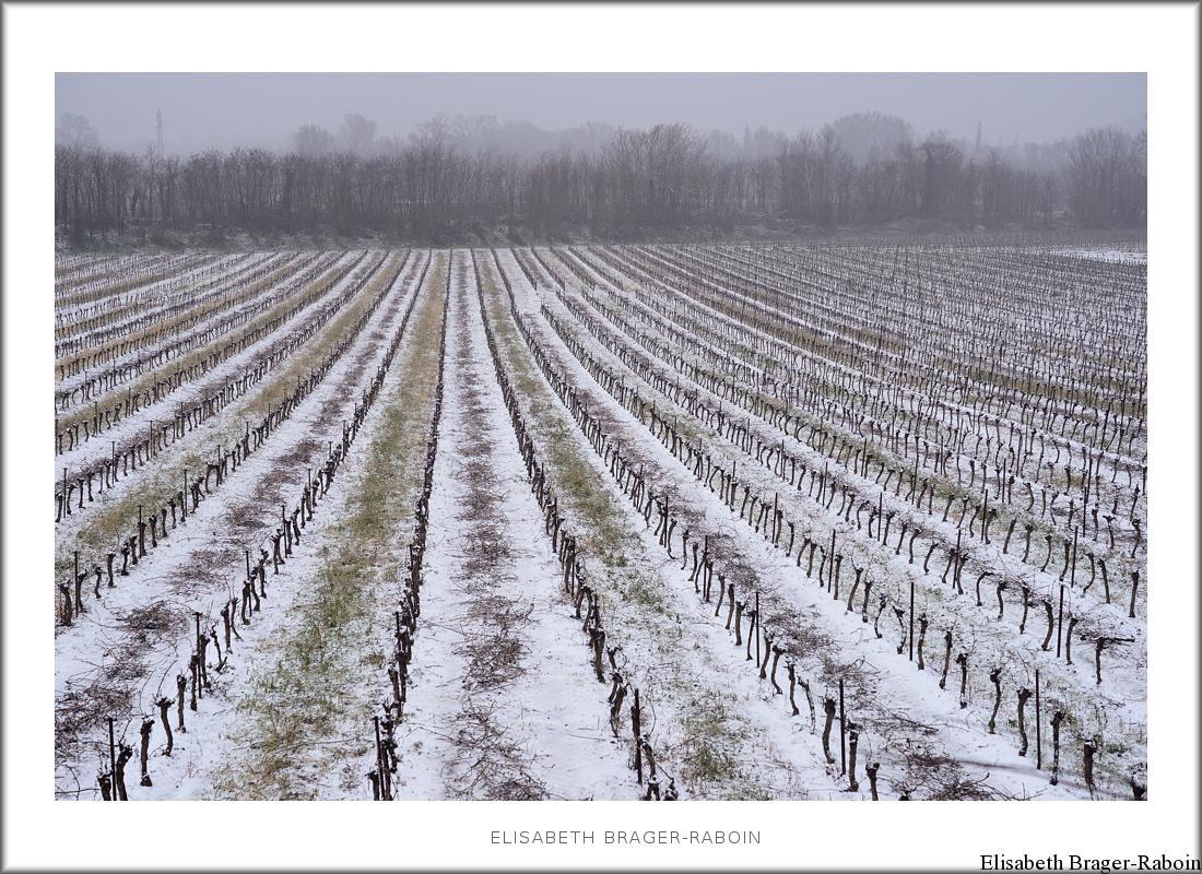 Une vigne sous la neige