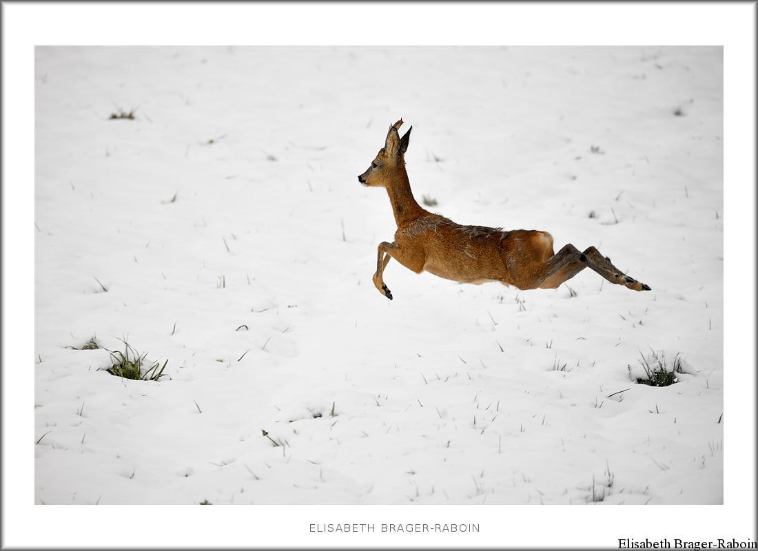 Brocard dans la neige, le 1er mai
