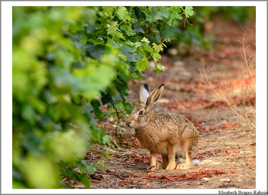 Lièvre dans une vigne