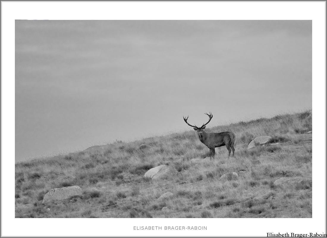 Brame du cerf - Mont Lozère 2017