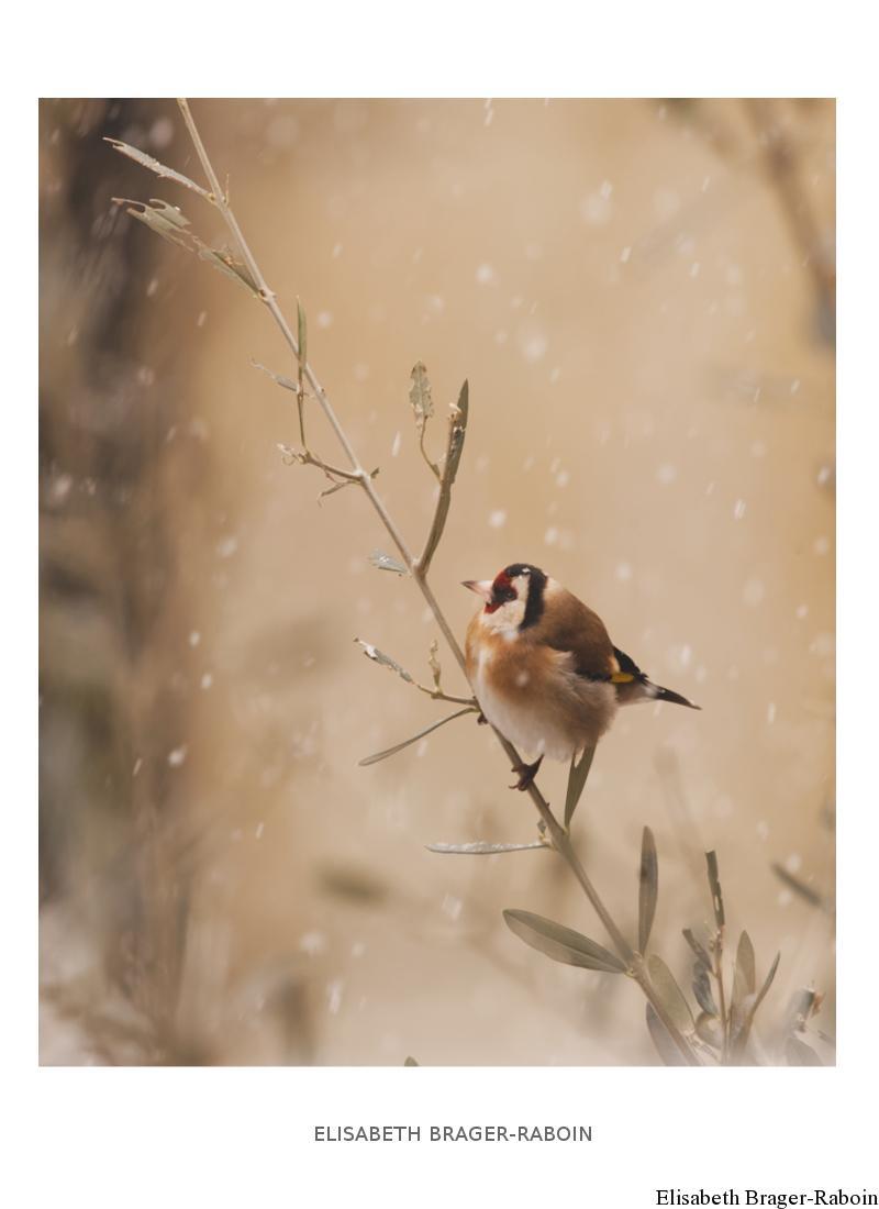 Chardonneret élégant sous la neige