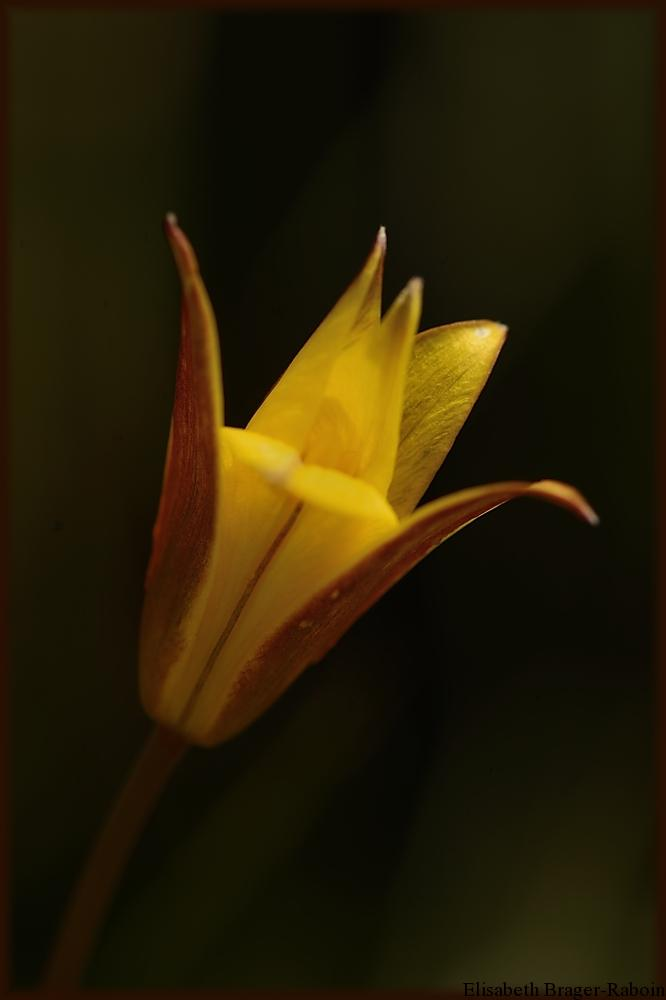 Tulipe sauvage - Mont Aigoual