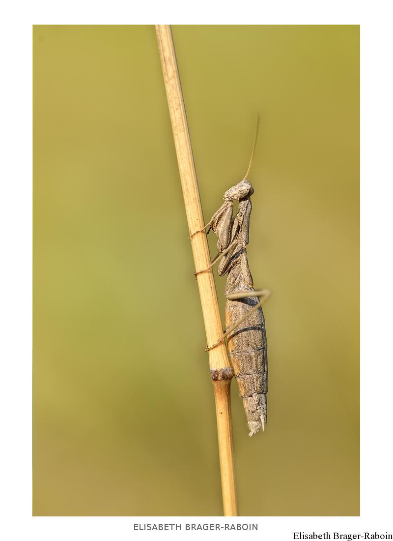 Ameles decolor - Mante décolorée