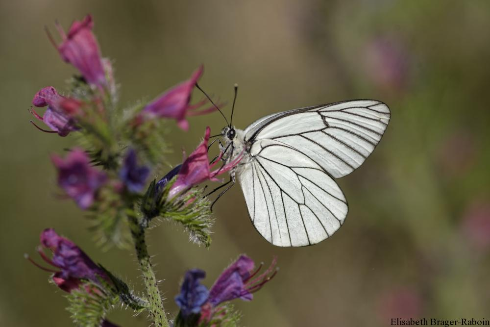 Echium vulgare (vipérine commune) et le papillon : le GAZÉ ou PIÉRIDE de l'AUBÉPINE (Aporia crataegi)