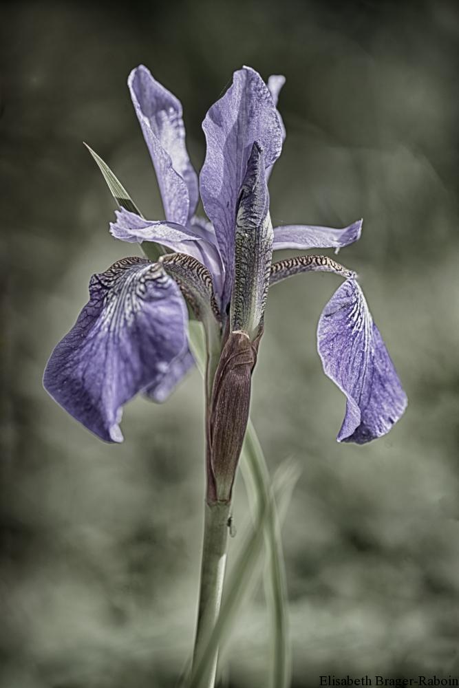 Iris des Pyrénées  (Iris latifolia)